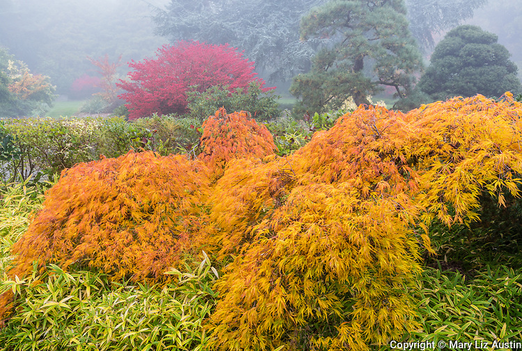 Kubota Garden, Seattle, Washington: Autumn orange leaves on a Japanese maple with variegated bamboo grass as a ground cover; burning bush and pines in the distance with fog