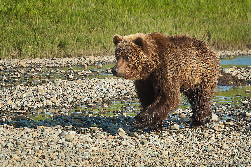 Brown Bear fishing for Salmon at Mikfik Creek. Summer at McNeil River Bear Sanctuary in Southwest Alaska.