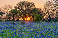 Rural Texas Bluebonnet Sunset - Bluebonnet sunset through the trees in the Texas hill country.  North of Llano Texas we capture these great bluebonnets as they flowed into this field on the other side of the barb wire fence and we capture the sun rays  just as it came through the tree with a hint of light left for the bluebonnets from this rural Texas site in the Texas Hill country.  There were plenty of bluebonnets before and after this barbwire fence along with some cactus, yuccas and of course this oak tree to capture this iconic texas scenery. There was a small sprinkling of indian paintbrush to mostly the blue bonnets.  We have been known to travel for 100s of miles to look for the texas bluebonnets and other wildflowers every spring that grow in the hill country and central texas.  It didn't hurt that the site pick up some nice colors from the sunset and created this nice glow.