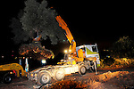 "An ancient olive tree in uprooted from its location in an Israeli naval army base in ""Hotrim"" in northern Israel, Wednesday, May 6th, 2009. In a complicated project, not yet finished, Israel's KKL (Keren Kayemet LeIsrael or Jewish National Fund) are to transfer the tree in its entirety to Mount Precipice in Nazareth, where Pope Benedict XVI will deliver a mass during his visit to the holy land, next week. Photo By: Tomer Neuberg / JINI"