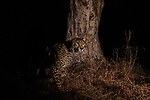 Cheetah (Acinonyx jubatus) male at scent-marking tree at night, Kafue National Park, Zambia