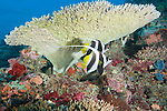 Rainbow Reef, Somosomo Strait, Fiji; a pair of Longfin Bannerfish (Heniochus cuminatus) swim together beneath a plate of Staghorn Coral on the coral reef