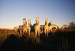 Camargue horses, Ile de la Camargue, France