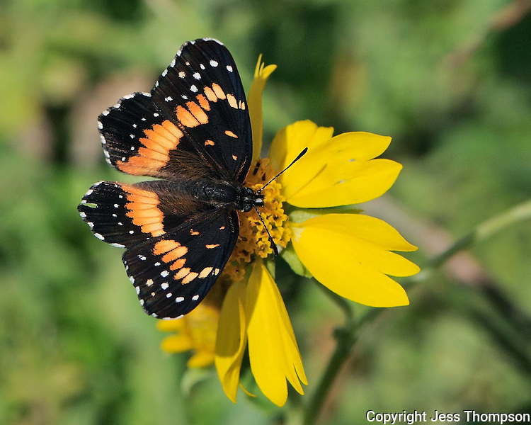 Bordered Patch Butterfly, Enchanted Rock State Park, Tx