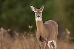 White-tailed doe standng in a northern Wisconsin field.