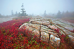 Red low sweet blueberry intermixes with evergreens and granite atop Cadillac Mountain during an autumn fog in Acadia National Park, Maine, USA