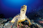 Hawksbill turtle (Eretmochelys imbricata) a critically endangered species, frontal view, South Ari Atoll, Maldives