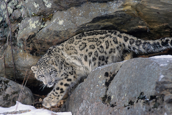 Snow Leopard (Panthera uncia) or (Uncia uncia), Endangered Species