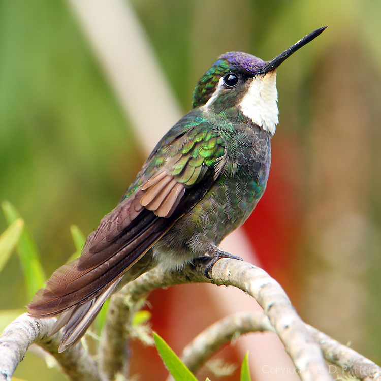 Male white-throated mountain-gem