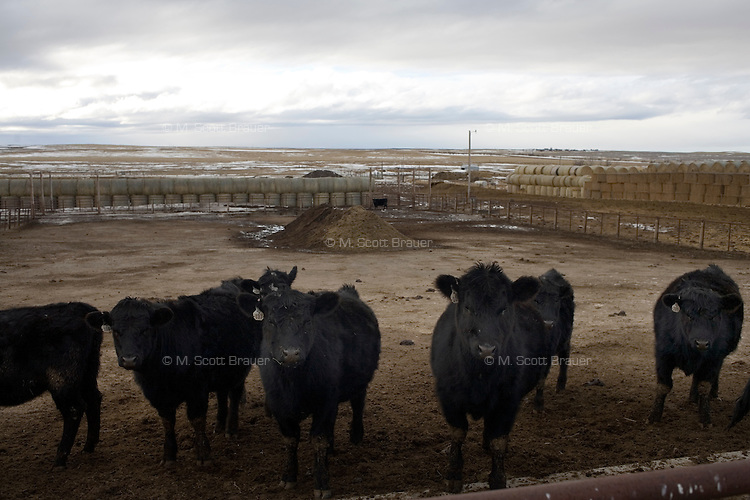 Black angus beef cattle stand in a holding pen at the Judisch Ranch near Ledger, Montana, USA.