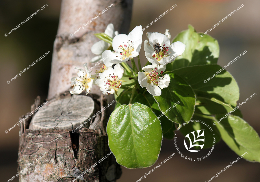Stock image of Bee sitting on a white almond cherry blossom flower on a small stem grown out on the trunk.