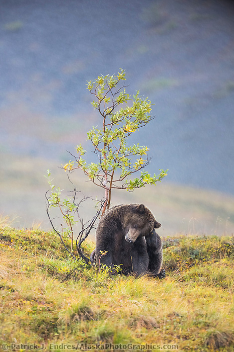Grizzly bear scratches on a willow bush, Denali National Park, Alaska.