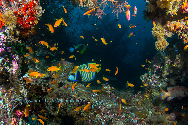 Rainbow Reef 4-7-18-1133, Emperor Angelfish, Pomacanthus imperator