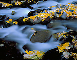 Inyo National Forest, CA  <br /> Detail of fall colored cottonwood leaves among the rocks of McGee Creek in the Eastern Sierras