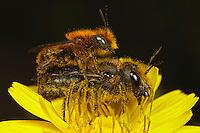 Mating Mason Bees