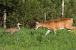 White-tailed deer and young sandhill crane