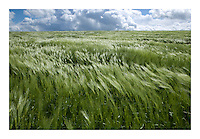 Wheat blowing in the wind