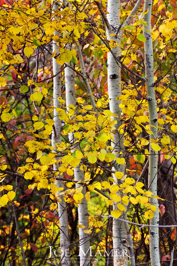 A small grouping of aspen trees with yellow leaves.