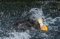 Tufted Puffin (Fratercula cirrhata) bathing.  Pacific Northwest.  May.