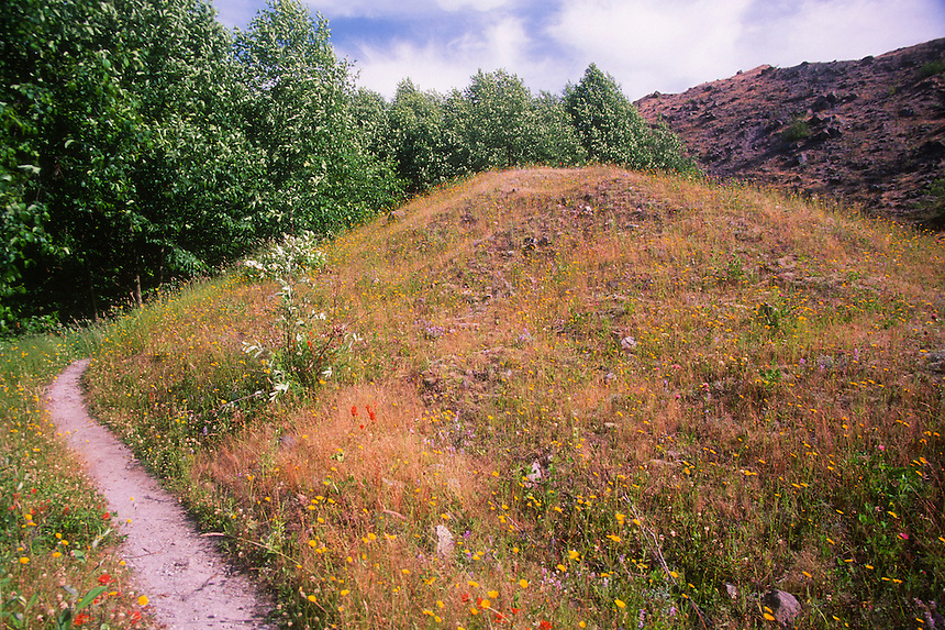 Wildflowers off Hummocks Trail, Mt. St. Helens National Volcanic Monument, Washington, US