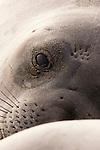 Northern Elephant Seal (Mirounga angustirostris) juvenile, Piedras Blancas, San Simeon, Big Sur, California