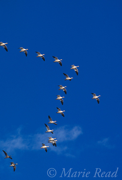 Snow Geese (Chen caerulescens) flying in V-formation, Bosque Del Apache National Wildlife Refuge, New Mexico, USA<br /> Slide # B24-5864
