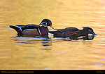 Wood Ducks, Male and Female, Franklin Canyon, Southern California