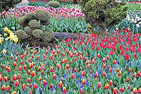 Roozengaarde display garden with mixed tulips. Mt. Vernon. Washington