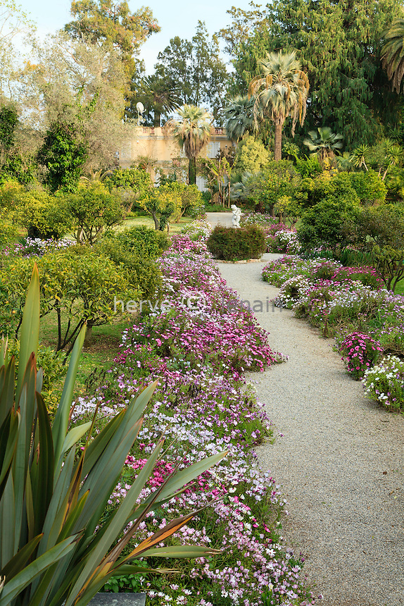 France, Alpes-Maritimes (06), Saint-Jean-Cap-Ferrat, le jardin botanique des C&egrave;dres:<br /> all&eacute;e bord&eacute;e d'Osteospermum entre la collection de Citrus // France, Alpes-Maritimes (06), Saint-Jean-Cap-Ferrat, the botanical garden of the C&egrave;dres (Cedars):<br /> Path lined with Osteospermum enters the collection of Citrus.