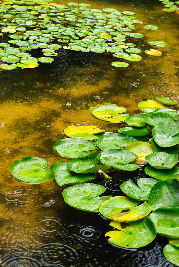 Green water lily pads floating on a pond, in the rain.