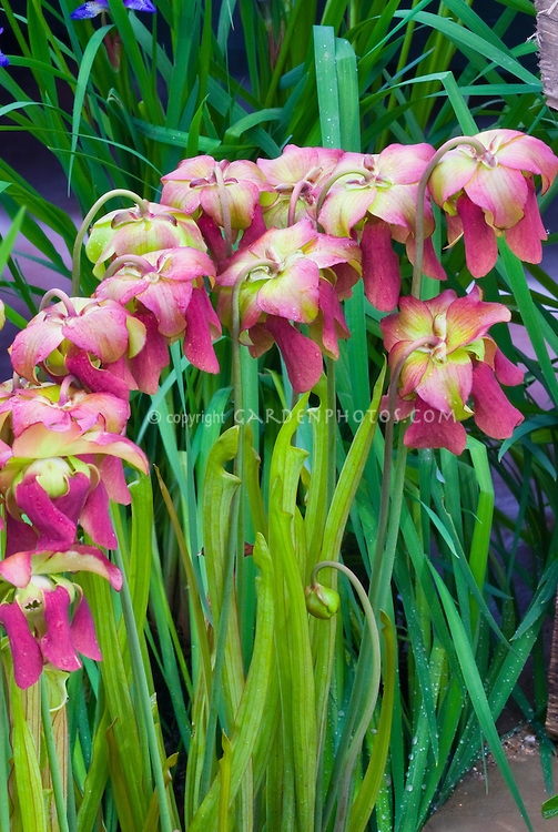 Sarracenia x popei pitcher plant flowers, carnivorous plants