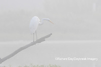 00688-02411 Great Egret (Ardea alba) in wetland in fog, Marion Co., IL