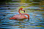 """Famous nature photographer/juror David Middleton (Maine)selected """"Flamingo Sunset"""" for inclusion in the """"Natural Wonders""""  exhibition at the PhotoPlace Gallery/Vermont Photography Workplace. It was also included in an 80-page hardcover exhibit book. They selected 75 finalists from more than 900 entries from around the world."""