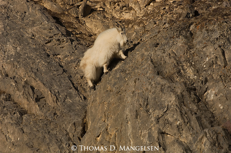 A mountain goat walks up cliffs in Wyoming.