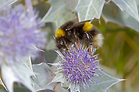 White-tailed Bumblebee - Bombus lucorum - queen on Sea Holly.