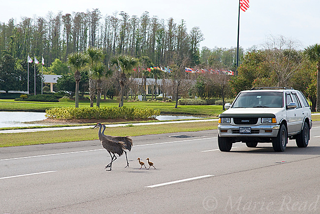 Sandhill Cranes (Grus canadensis) (Florida race), adult with two small chicks  crossing highway, Kissimmee, Florida, USA