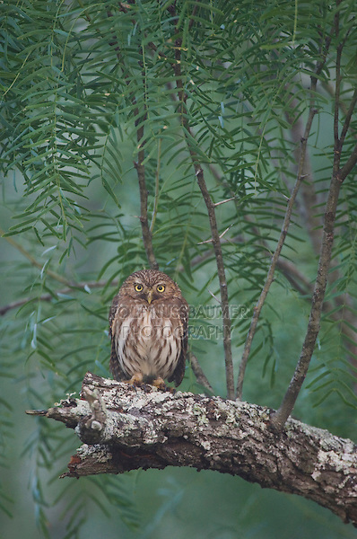 Ferruginous Pygmy-Owl, Glaucidium brasilianum, adult perched in fog, Willacy County, Rio Grande Valley, Texas, USA, May 2007