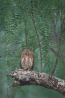 Ferruginous Pygmy-Owl, Glaucidium brasilianum, adult perched in fog, Willacy County, Rio Grande Valley, Texas, USA, May 2007