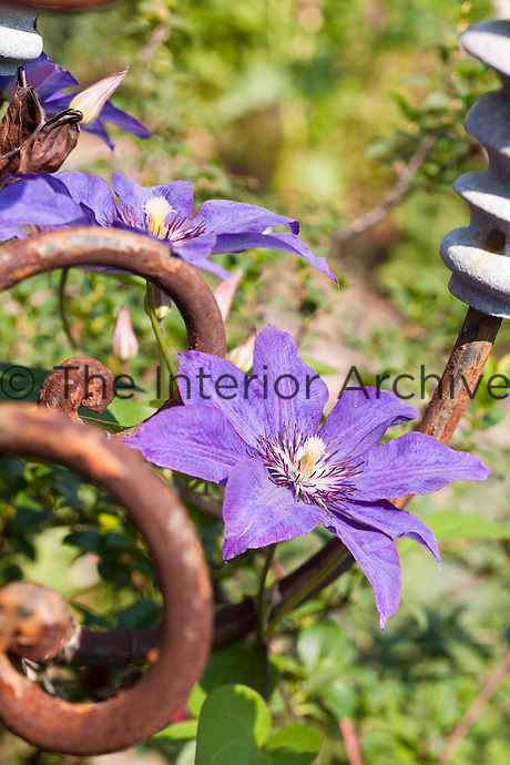 Close up of a purple blue clematis in full bloom climbing on a salvaged industrial structure