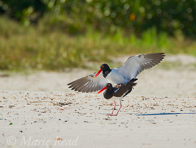 American Oystercatcher (Haematopus palliatus), pair copulating, Tampa Bay, Florida, USA