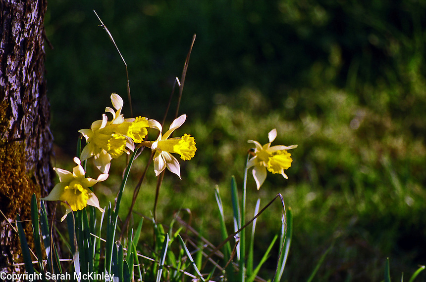 A group of daffodils at the base of an apple tree face the afternoon outside of Willits in Mendocino County in Northern California.