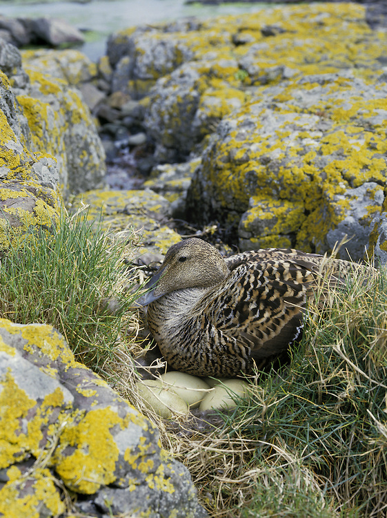Eider Somateria mollissima L 50-70cm. Bulky seaduck with distinctive profile: wedge-shaped bill forms continuous line with slope of forehead. Gregarious for most of year. In summer, female flocks supervise 'creche' of youngsters. Sexes are dissimilar. Adult male has mainly black underparts and white upperparts, except for black cap, lime green nape and pinkish flush on breast. In eclipse, plumage is brown and black, with some white feathers on back, and pale stripe above eye. Adult female is brown with darker barring. Juvenile is similar to adult female but with pale stripe above eye. Voice Male utters endearing, cooing ah-whooo. Status Almost exclusively coastal. Nests close to seashore and feeds in inshore waters, diving for prey such as mussels.