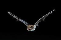 Wasser-Fledermaus, Wasserfledermaus im Flug bei der Jagd, Flugbild, Myotis daubentoni, Myotis daubentonii, Daubenton's bat