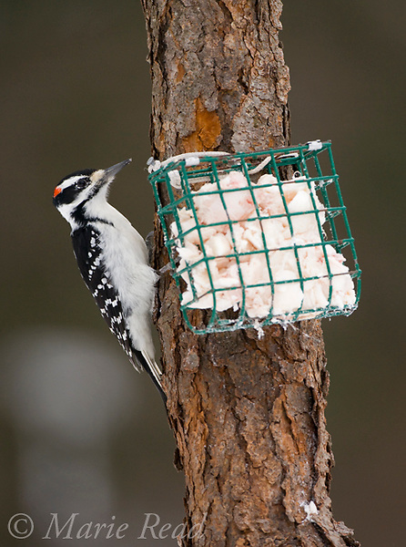 Hairy Woodpecker (Picoides villosus), adult male at suet feeder, New York, USA