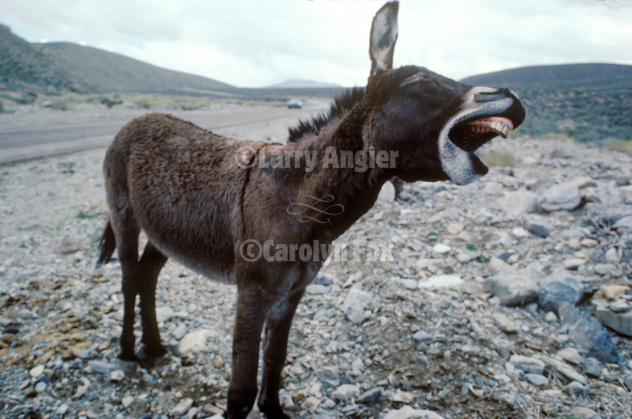 Flop-ear jackass yawns in California's Panamint Mountains.