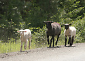 A black sheep and two lambs trot on a paved road in the mountains. Stock photography by Olympic Photo Group
