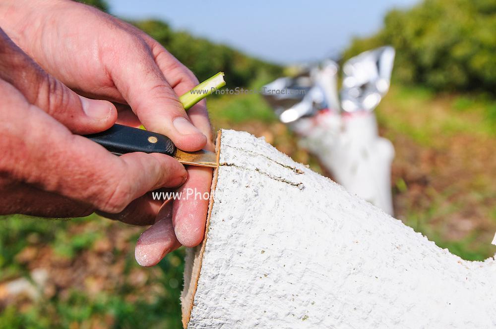 Grafting in an Avocado Plantation   PhotoStock-Israel