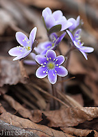 Hepatica is the first wildflower to emerge in the spring woods in New Hampshire