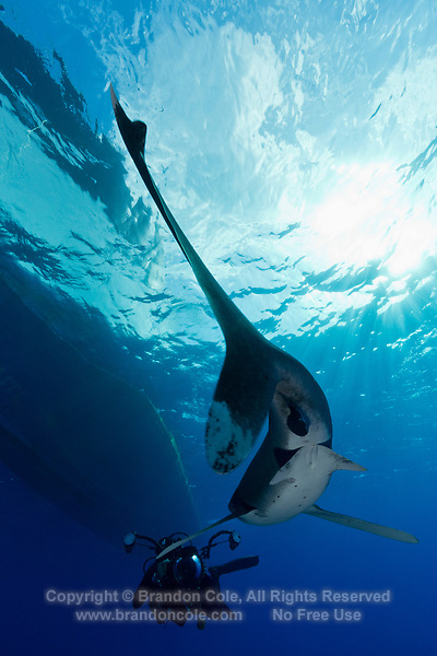 TG0637-D. Oceanic Whitetip Shark (Carcharhinus longimanus), view from behind as it swims toward photographer. The tail fin is heterocercal- long lobe on top, short lobe on bottom- which is common in pelagic fish as it provides powerful and efficient propulsion for animals always on the move. Egypt, Red Sea.<br /> Photo Copyright &copy; Brandon Cole. All rights reserved worldwide.  www.brandoncole.com