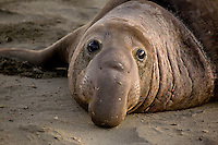Northern Elephant Seal (Mirounga angustirostris) at Piedras Blancas, San Simeon, California